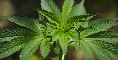 invertir en cannabis 2